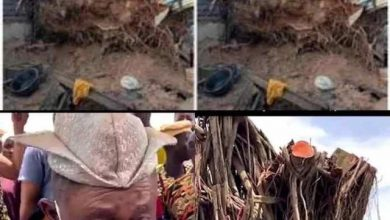 Photo of 100 – Years old tree re-erected itself in Oyo State right in Sabo Market.